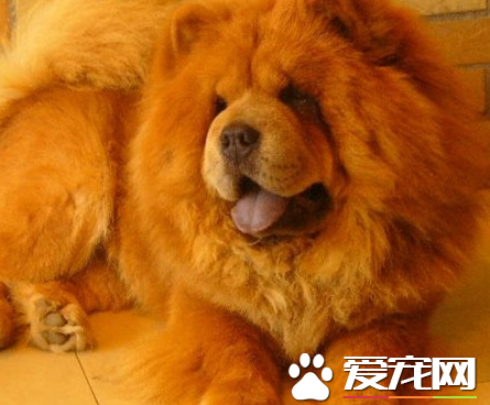 松狮犬智商排名 犬类排行中占第76位