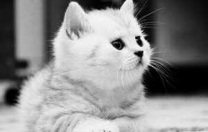 猫咪眼屎多爱流泪治疗方法